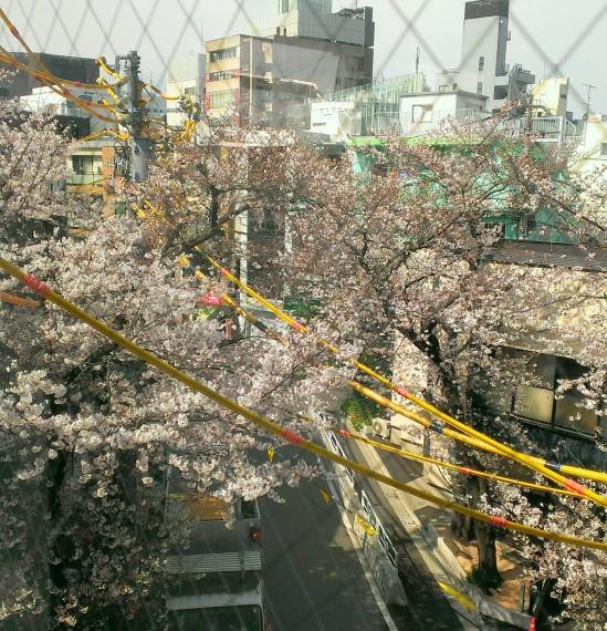 桜IMAG0539_1_1
